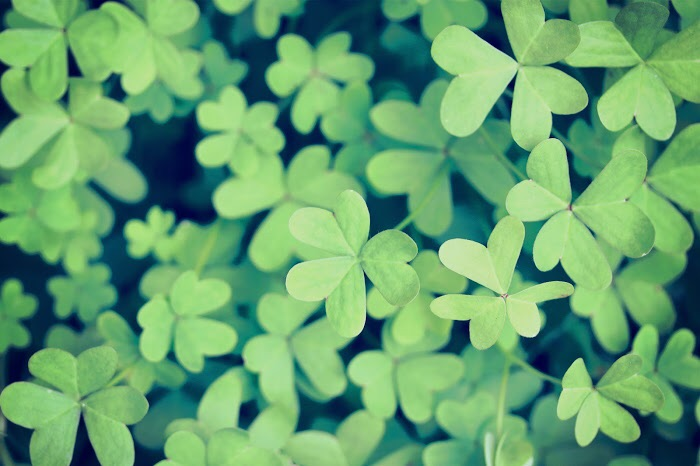 クローバーのような葉っぱの画像