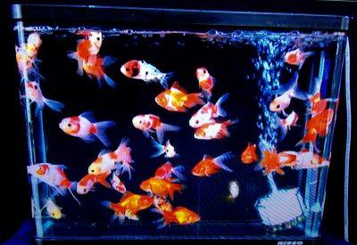 ホンマでっかTV6/29 お金持ちになれる潜在意識テストの金魚の写真画像