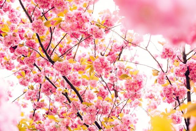 桜ー春の写真画像